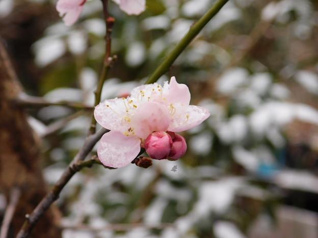 紅冬至と雪DSCN6271