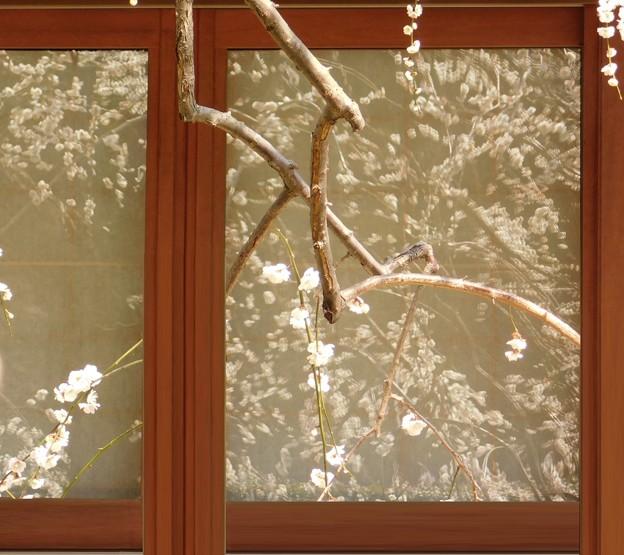 窓越しの白滝枝垂DSCN7971 (3)pp