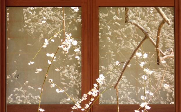 窓越しの白滝枝垂DSCN7969 (2)pp