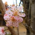 Photos: 浪華の梅・義烈館DSCN8654