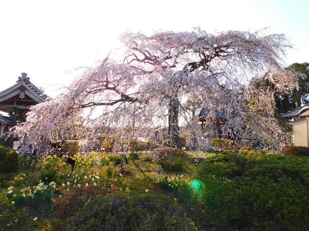 DSCN0730安国寺枝垂れ桜