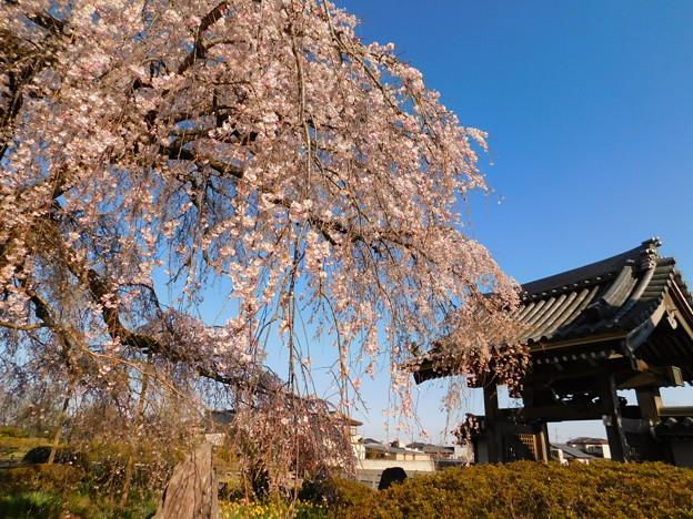 DSCN0744安国寺枝垂れ桜