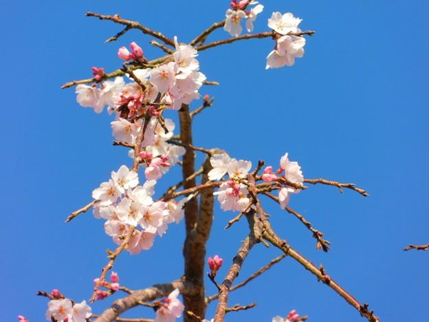 DSCN0749安国寺枝垂れ桜