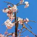 Photos: DSCN0749安国寺枝垂れ桜