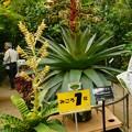 Photos: DSCN5117皇帝アナナス・筑波実験植物園