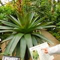 Photos: DSCN5122 皇帝アナナス・筑波実験植物園