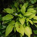 ナガサキギボウシ開花DSCN8547