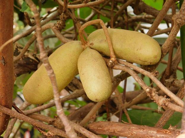 アケビ四葉もある木に実がDSCN1205