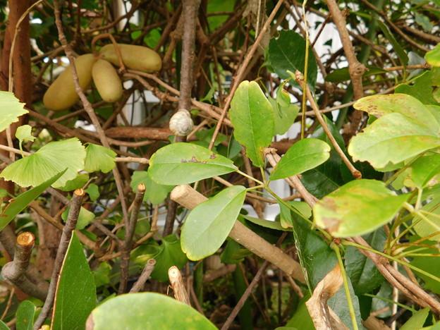 アケビ四葉もある木に実がDSCN1206