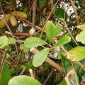 Photos: アケビ四葉もある木に実がDSCN1206