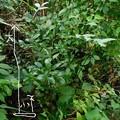 出島の木大小DSCN0130