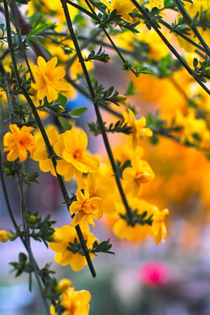 黄色の共演