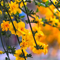 写真: 黄色の共演
