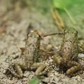 写真: 綱引き カエル!