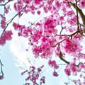 写真: 夕桜