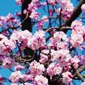 写真: 杏子も咲き揃いました~(^^♪