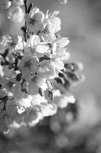 朝桜~(^^♪