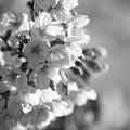 Photos: 朝桜~(^^♪