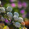 写真: コデマリも咲き揃いました~(^▽^)/