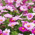 写真: グーチョキパーが咲きました!(^▽^)/