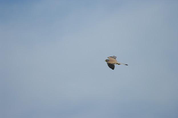 チョウゲンボウも飛んでますよ~(^▽^)/