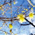 Photos: 庭先の蠟梅も!