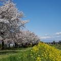 Photos: 桜並木と新幹線