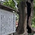 Photos: 神宿る木