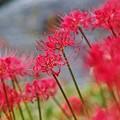 志度川に咲く彼岸花