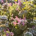 Photos: 霜の花!(#^.^#)