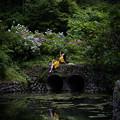 Photos: 紫陽花の湖面