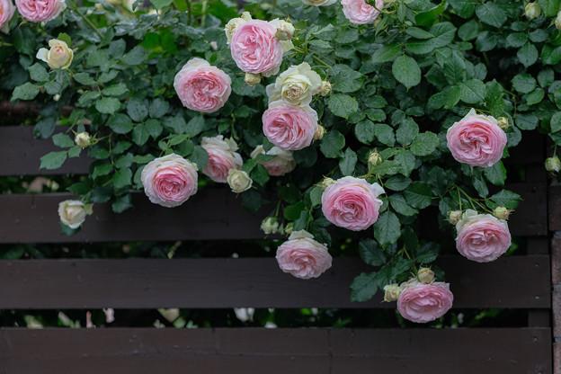垣根の薔薇