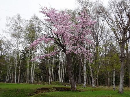 170514-05川湯温泉の桜