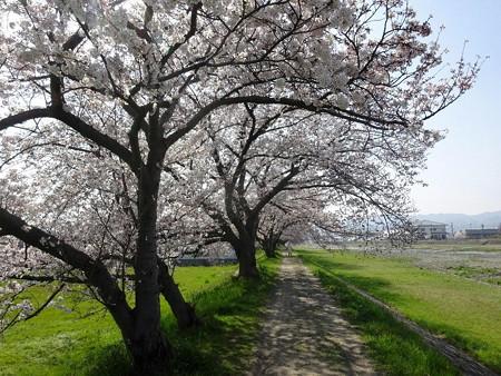180329男里川の桜