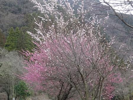 190311-04紅白の梅