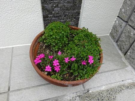200424アッツ桜