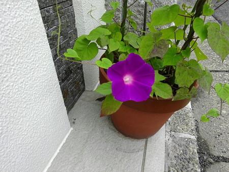 200715アサガオ3番花