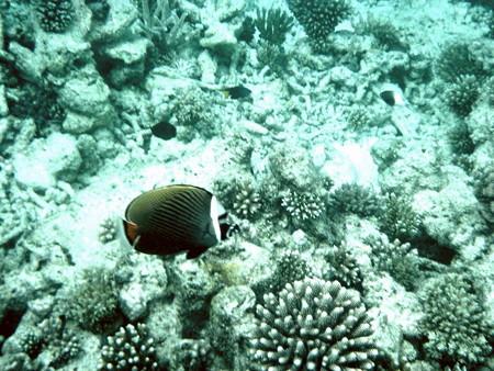 050729Collare butterflyfish