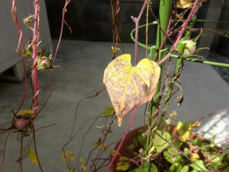 201025朝顔の黄葉