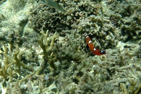 090904ツユベラ幼魚