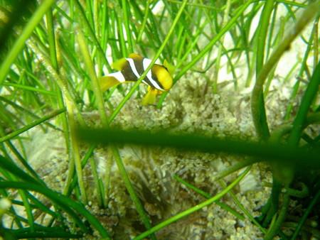 07クマノミ幼魚