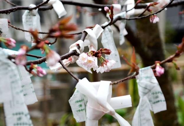 雨の梨木神社のおみくじ