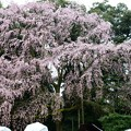 醍醐寺伽藍の大枝垂れ