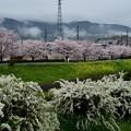 雨あがり霧と桜に見とれをり