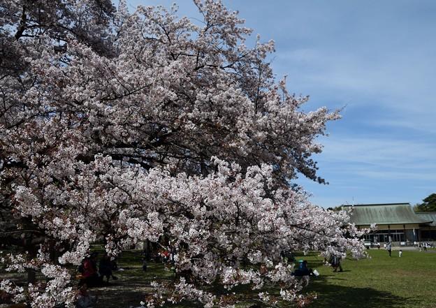 ボリュームのある桜