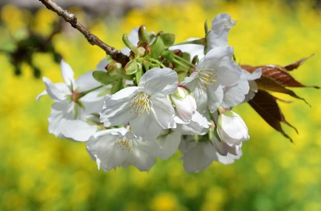 太白と菜の花コラボ美しく