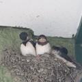巣に残ったヒナ3羽