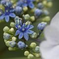 写真: 青い両性花がきれい