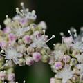 紫陽花のパチパチ部分(両性花)