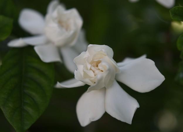 庭のクチナシ2